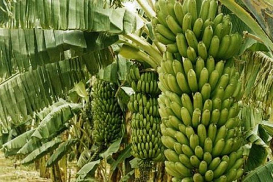 Cameroun-Agriculture. Baisse des exportations de bananes