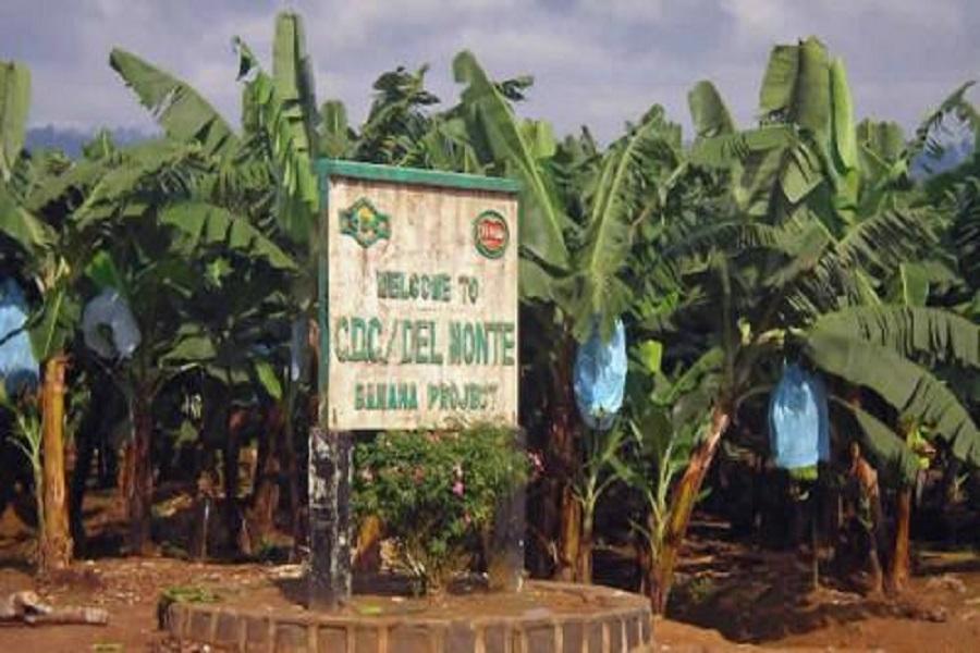 Cameroun-Crise anglophone : Les sécessionnistes tranchent les doigts des employés de la CDC