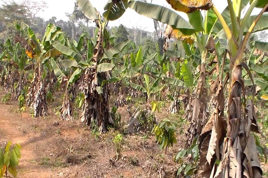 Agro-industrie : L'exportation de la banane « made in Cameroun » en très forte hausse.
