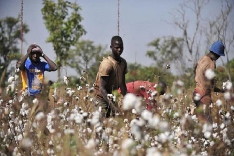 CAMEROUN-AGRICULTURE : la filière coton bientôt en avant-garde