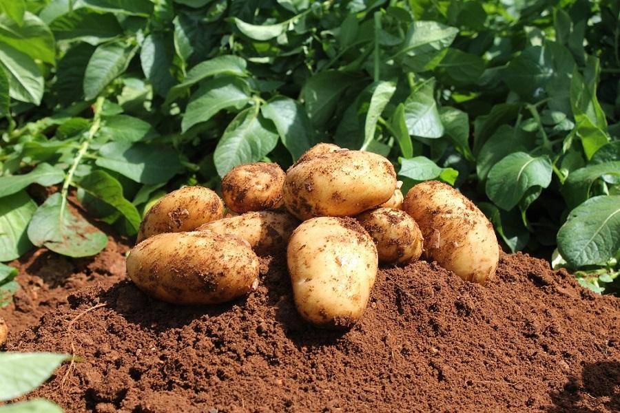 Cameroun-agriculture : les pommes de terre, fleuron agricole de l'ouest et du nord-ouest