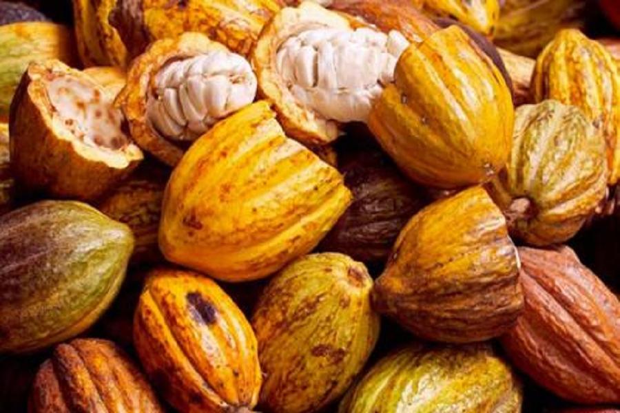 Cameroun: baisse du prix du cacao dans les bassins de production