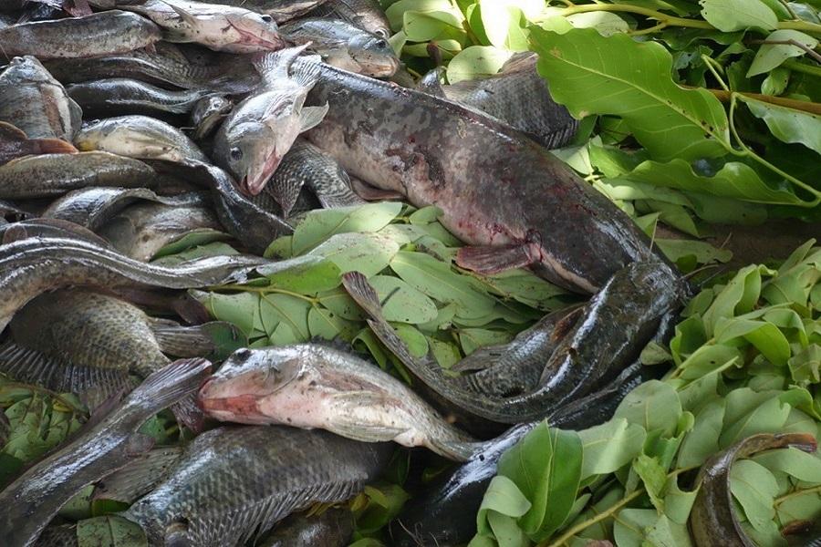 Cameroun-aquaculture : des chiffres qui rassurent