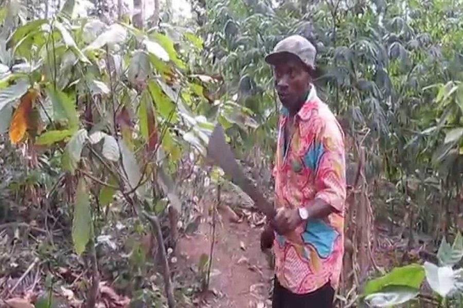 Cameroun-cacao culture : une fin de saison en demie teinte