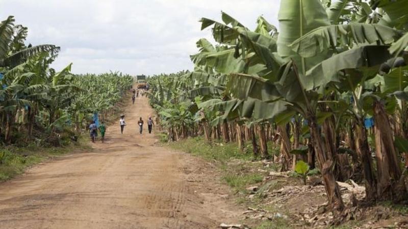 Cameroun-attaque à la CDC : les employés se font arracher les parties corporelles